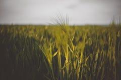 Предпосылка сельскохозяйственных угодиь лета с ячменем стоковые изображения rf