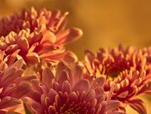 Предпосылка сирени Брайна флористическая хризантемы цветков Пустое пространство для записи текста Шаблон для карточки праздника Стоковые Изображения