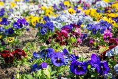 Предпосылка смешанных pansies цветет в саде Стоковая Фотография