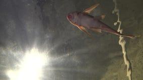 предпосылка солнечного света 4K подводная, карп и другие рыбы плавая в аквариуме акции видеоматериалы