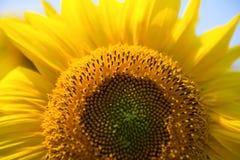 Предпосылка солнцецвета естественная, зацветать солнцецвета близкий солнцецвет вверх по желтому цвету стоковая фотография rf