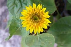 Предпосылка солнцецвета естественная, зацветать солнцецвета Стоковые Изображения
