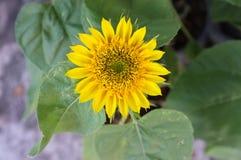 Предпосылка солнцецвета естественная, зацветать солнцецвета Стоковая Фотография
