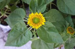Предпосылка солнцецвета естественная, зацветать солнцецвета Стоковые Фото