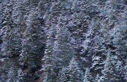 Предпосылка соснового леса зимы Стоковые Изображения RF