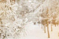 Предпосылка сосны зимы солнечная Фото Конца-вверх Ветви покрыли снег Сезонно концепция зимы Christmass стоковое фото