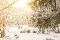 Предпосылка сосны зимы солнечная Фото Конца-вверх Ветви покрыли снег Сезонно концепция зимы Christmass стоковые изображения rf