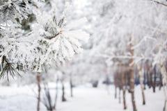 Предпосылка сосны зимы Фото Конца-вверх Ветви покрыли снег Сезонно концепция предпосылки зимы Christmass стоковые фотографии rf