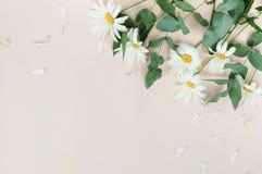 Предпосылка состава цветков букет camomiles цветков на бледной бежевой предпосылке стоковое изображение