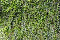 Предпосылка стены плюща Стоковое Фото
