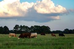 Предпосылка сумрака аграрная скотин пася стоковая фотография rf
