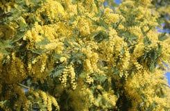 предпосылка с желтыми цветками мимозы зацвела весной стоковая фотография