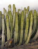 Предпосылка с кактусом Стоковая Фотография RF