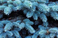 Предпосылка с красивыми голубыми ветвями ели Стоковая Фотография RF