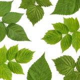 Предпосылка с листьями поленики на белизне Стоковые Изображения RF