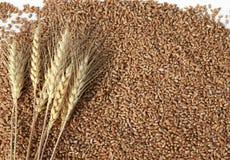 предпосылка с много золотых зерен пшеницы и ушей стоковые фотографии rf
