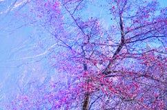 Предпосылка с небольшими розовыми яблоками на ветвях против голубого неба изображение стоковые фото