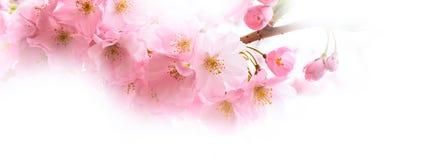 Предпосылка с розовым вишневым цветом, цветками Сакуры Стоковое Фото