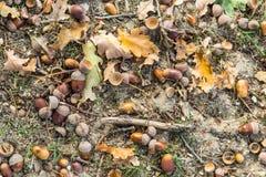 Предпосылка с сухими коричневыми жолудями стоковые изображения rf
