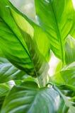 Предпосылка, текстура больших листьев Spathiphyllum Стоковое Изображение