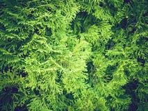 Предпосылка текстуры ветвей рождественской елки Стоковое Фото