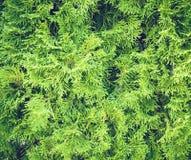 Предпосылка текстуры ветвей рождественской елки Стоковое Изображение