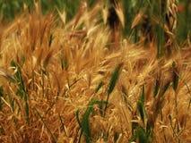 Предпосылка текстуры высушенной травы в солнечном летнем дне Стоковое фото RF