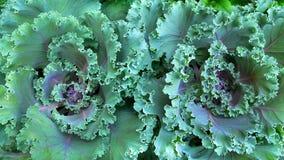 Предпосылка текстуры зеленой капусты крупного плана свежая Стоковые Фотографии RF
