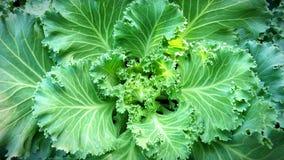 Предпосылка текстуры зеленой капусты крупного плана свежая Стоковое Изображение RF