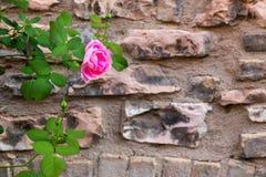 Предпосылка текстуры каменной стены с красивым подняла Стоковые Фотографии RF