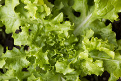 Предпосылка текстуры листьев салата стоковые изображения