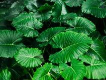 Предпосылка текстуры лист зеленого цвета Caladium стоковое фото rf