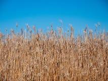 Предпосылка тростников и голубого неба стоковая фотография