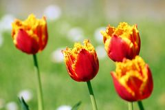 Предпосылка тюльпанов цветка Стоковые Изображения