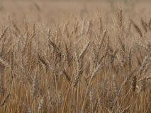 Предпосылка урожая ячменя стоковое изображение rf