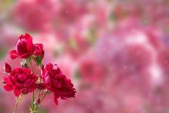 предпосылка флористическая подняла Стоковая Фотография RF