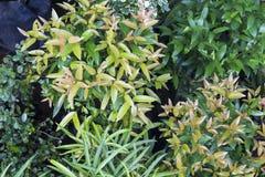 Предпосылка фото комнатного растения Тропический завод листвы в экзотическом саде Стоковое Фото