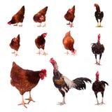 Предпосылка фуражировать цыпленка белая Стоковая Фотография RF
