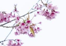 Предпосылка цветения вишни Стоковая Фотография RF