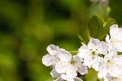 Предпосылка цветения Яблока Стоковое Изображение RF