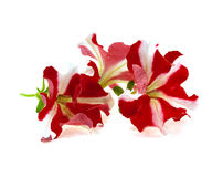 предпосылка цветет белизна стоковая фотография rf