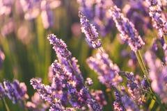 предпосылка цветет лаванда Стоковые Фото