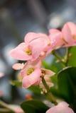 предпосылка цветет пинк макроса Стоковая Фотография RF