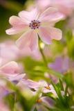 предпосылка цветет пинк макроса Стоковые Изображения RF