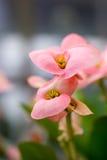 предпосылка цветет пинк макроса Стоковые Фотографии RF