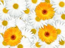 предпосылка цветет померанцовая белизна Стоковое фото RF