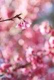 предпосылка цветет розовый sakura Стоковые Изображения