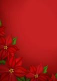 предпосылка цветет poinsettia Стоковые Изображения RF