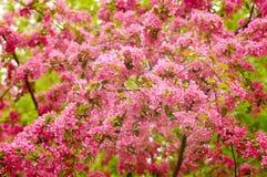 предпосылка цветет sakura Стоковая Фотография RF