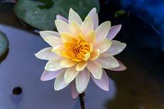 Предпосылка цветка лотоса естественная Стоковые Фотографии RF